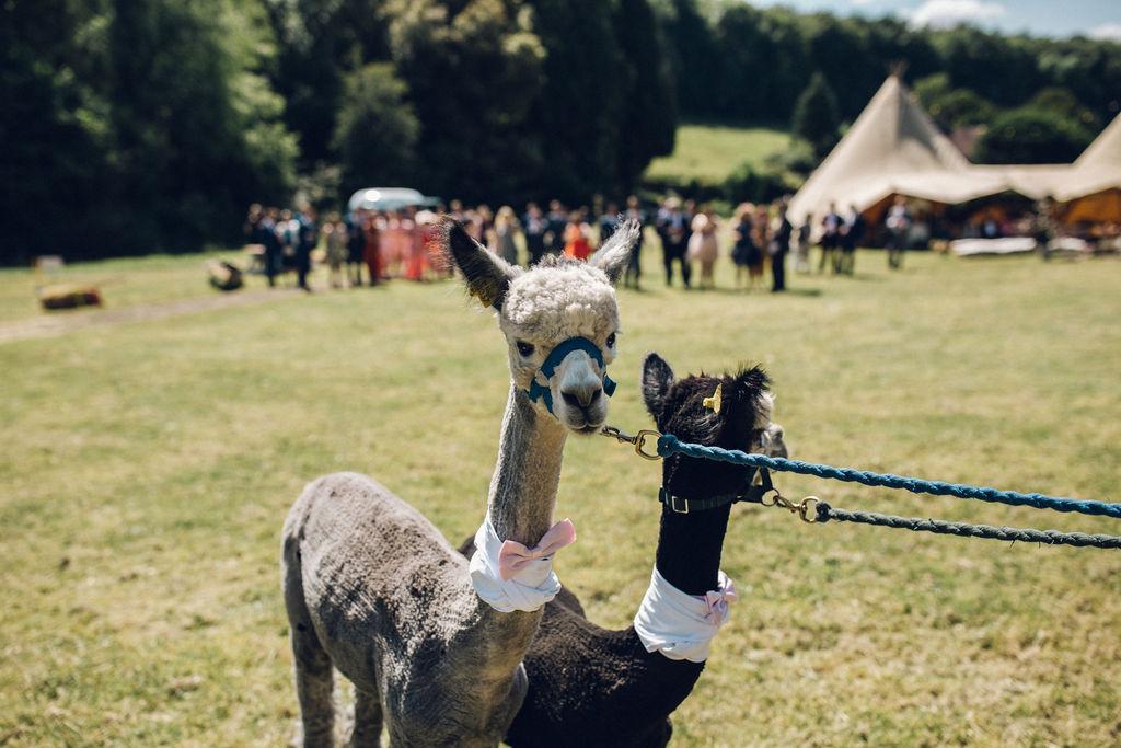 boho tipi wedding with alpacas